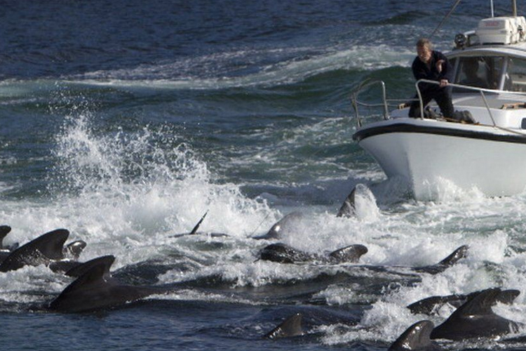 'Festival' adı altında katliam: Faroe Adaları'nda bin 400 yunus öldürüldü